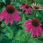 Blumensamen 'Stauden und zweijährige Blumen für den Bauerngarten'