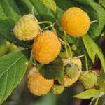 Obstgehölz Himbeere 'Gelbe Antwerpener'