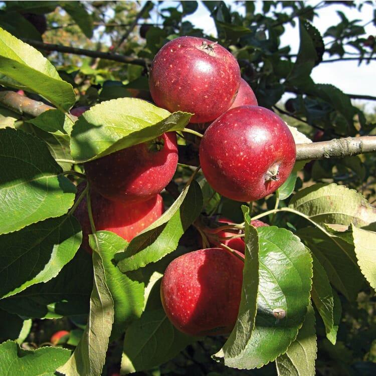 Herbstapfel 'Apfelberger Zuckeräpfelchen'