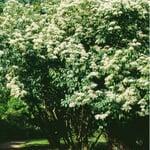 Ziergehölz 'Bienenbaum'
