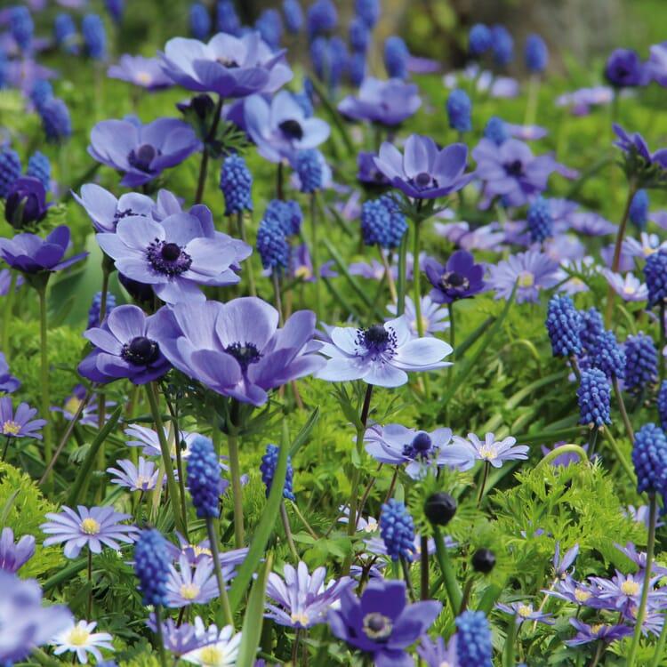 Blumenzwiebeln Blaue Blumenzwiebelmischung