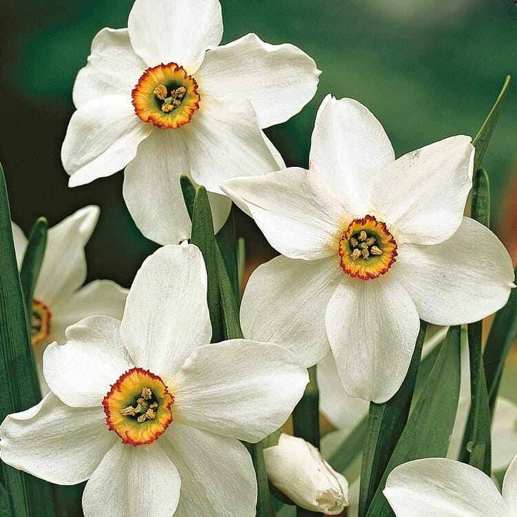 Blumenzwiebeln Dichternarzisse 'Ornatus'