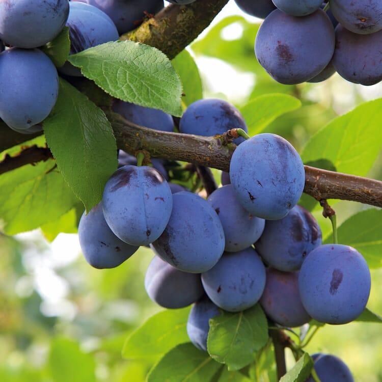 Obstgehölz 'Bühler Frühzwetsche'