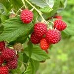 Obstgehölz Himbeere 'Korbfüller'