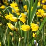 Blumenzwiebeln Tulpe 'Weinbergstulpe'