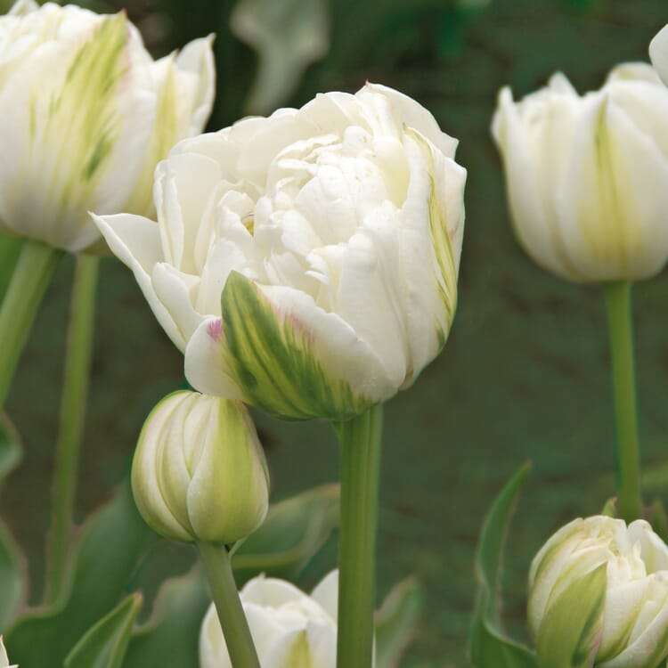 Blumenzwiebeln Tulpen 'Mount Tacoma'