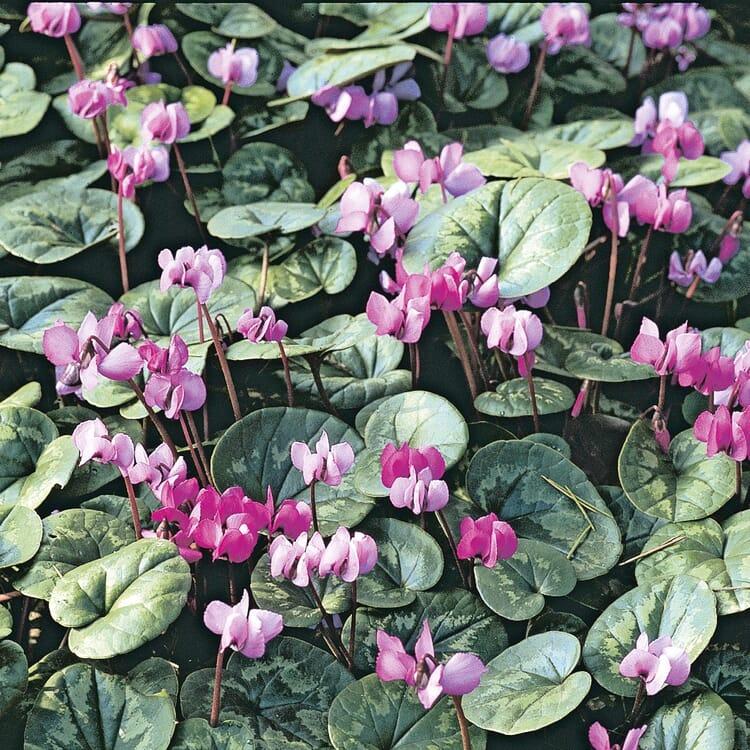 Blumenzwiebeln Winterblühendes Alpenveilchen