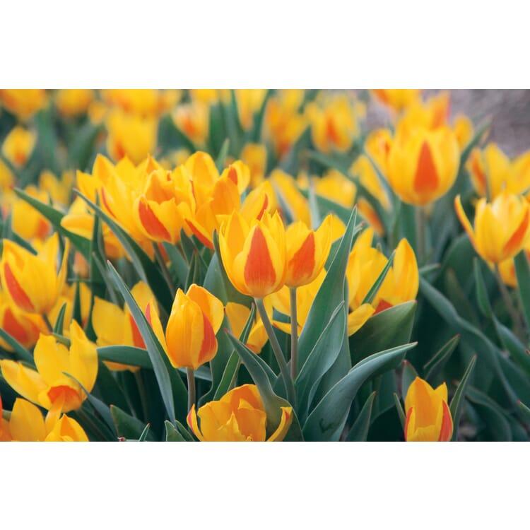 Blumenzwiebeln Afghanische Wildtulpe