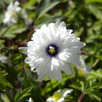 Blumenzwiebeln Buschwindröschen 'Blue Eyes'
