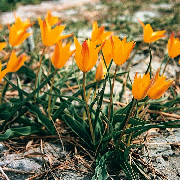Blumenzwiebeln Altai-Tulpe