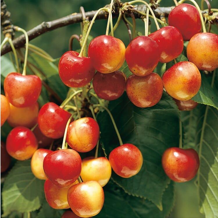 Obstgehölz 'Süßkirschen'
