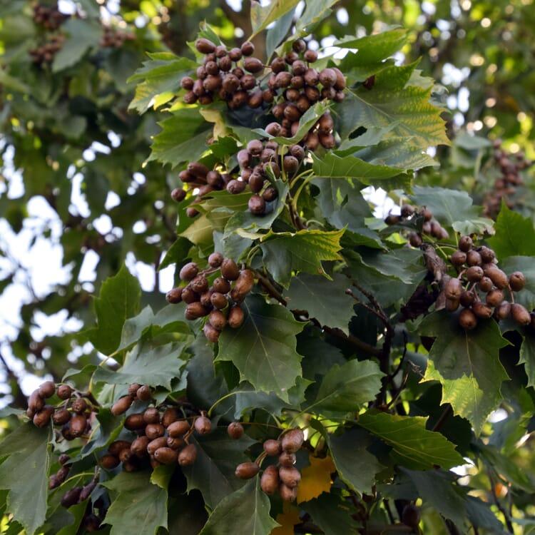 Obstgehölz Elsbeere
