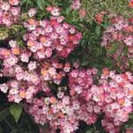 Ramblerrose Maria Lisa (Rosa Multiflora-Hybride)