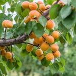 Obstgehölz Aprikose 'Luizet'