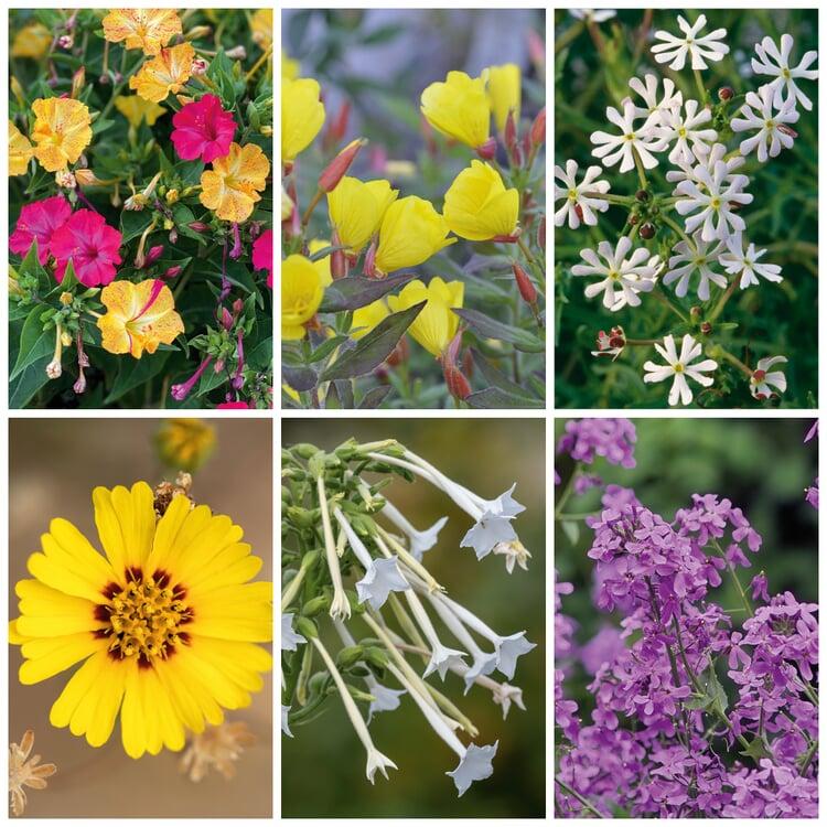 Blumensamen 'Abend- und Nachtdufter'