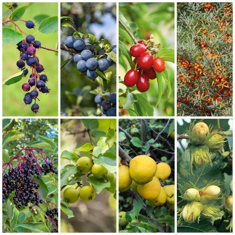 Kombipaket 'Wildfruchthecke 1 und 2'