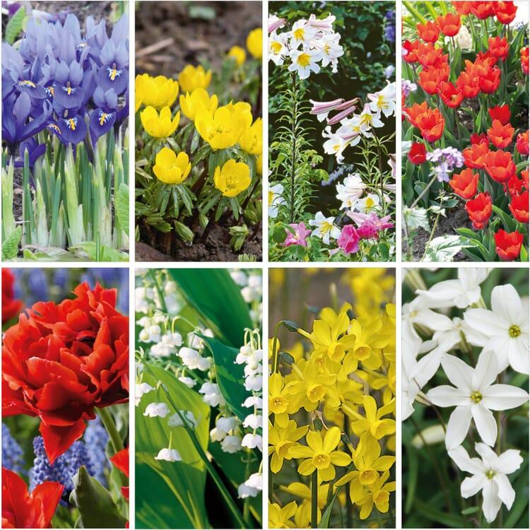 Blumenzwiebeln Duftende Zwiebelblumen