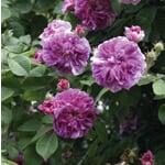 Ramblerrose 'Russeliana'