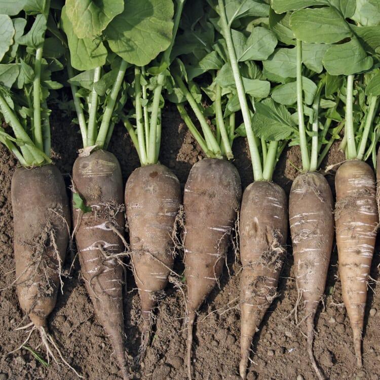 Gemüsesamen 'Gemüse aus deutschen Regionen'