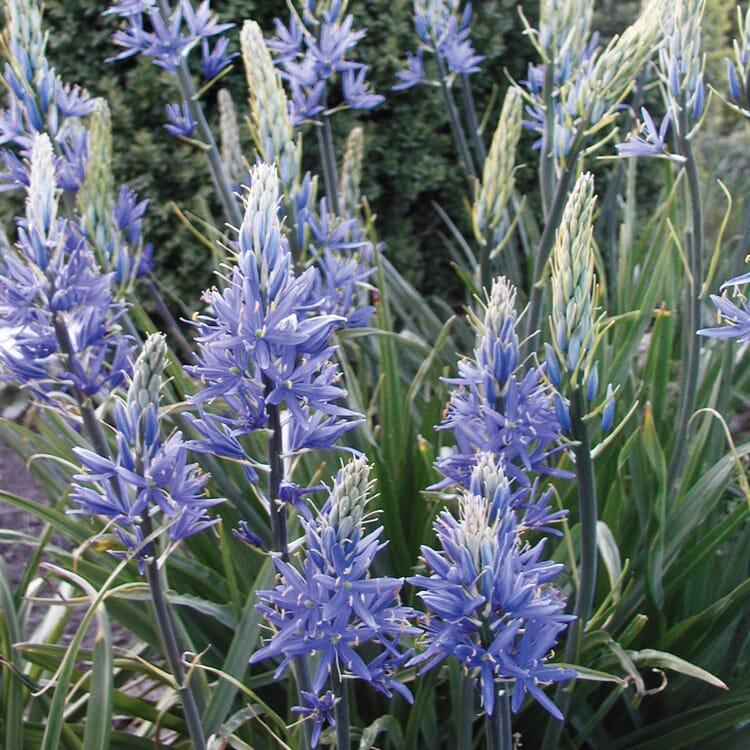 Blumenzwiebeln Prärielilie 'Blue Candle'