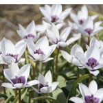 Blumenzwiebeln Zwergtulpe 'Alba Caerulea Oculata'