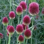 Blumenzwiebeln Kugellauch