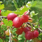 Obstgehölz Stachelbeere 'Captivator'