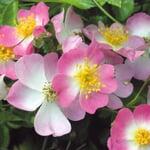 Bodendeckerrose 'Rosa Sternenflor'