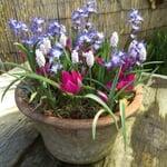 Blumenzwiebeln für Töpfe Mischung 1
