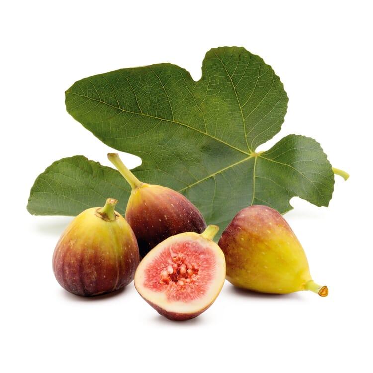 Obstgehölz 'Pfälzer Fruchtfeige'