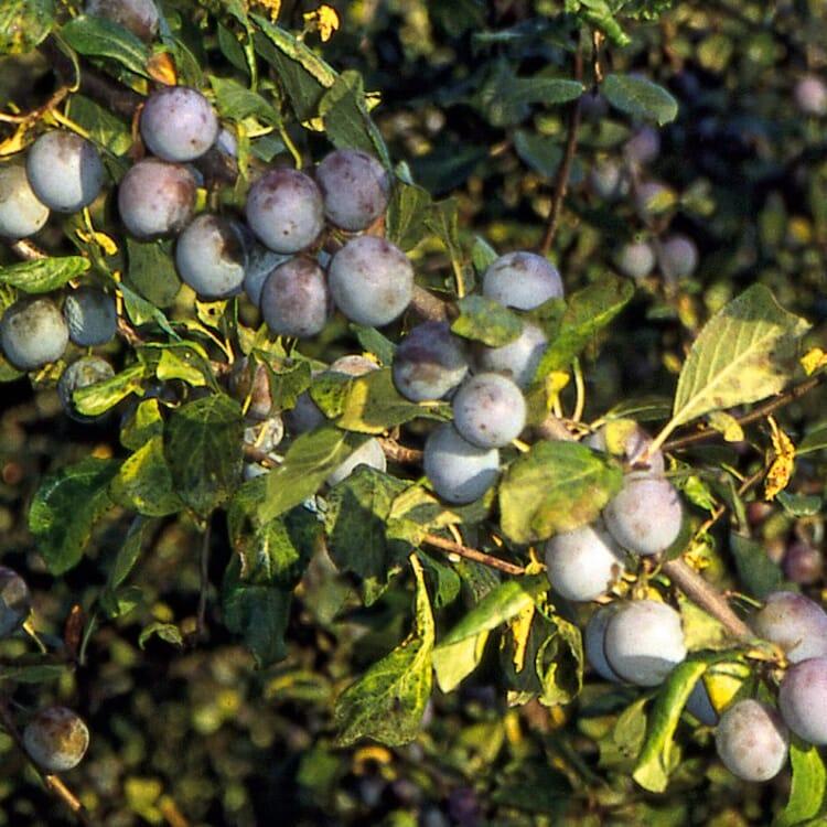 Obstgehölz Wildpflaume 'Zibarte'