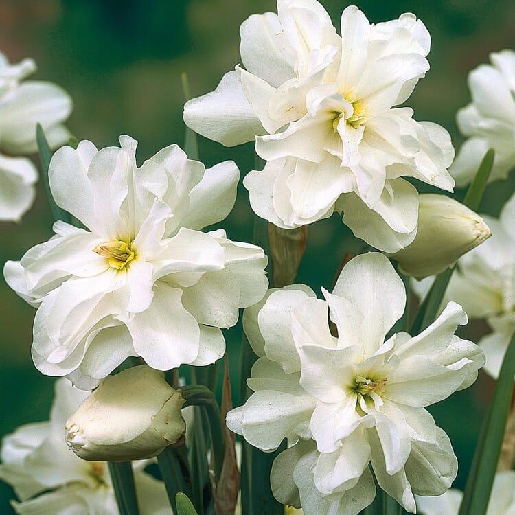 Blumenzwiebeln Dichternarzisse 'Albus Plenus Odoratus'