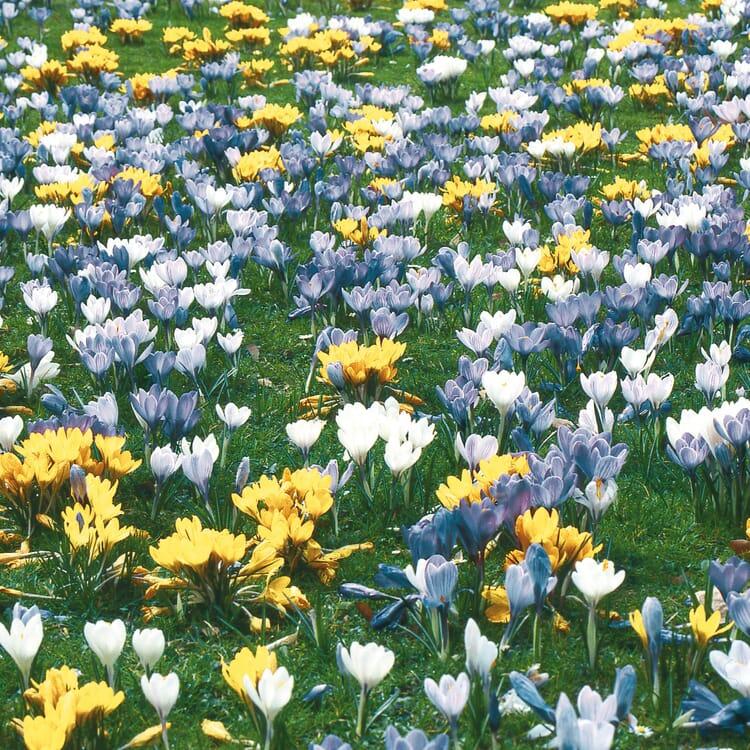Blumenzwiebeln Krokus-Mischung
