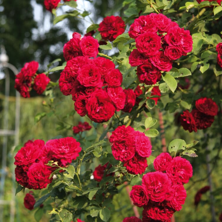 Chevy Chase (Rosa-Multiflora-Hybriden)