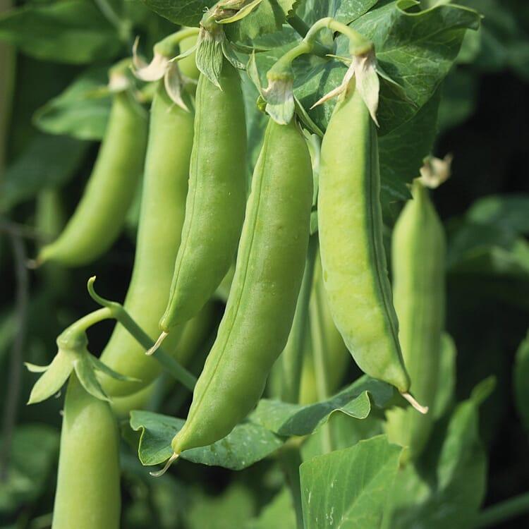 Gemüsesamen 'Gartengemüse alte Landsorten'
