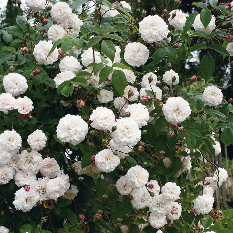 Félicité et Perpétue (Rosa-Sempervirens-Hybriden)