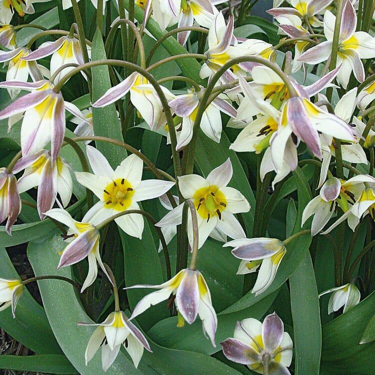 Blumenzwiebeln Turkestan-Tulpe
