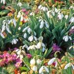 Blumenzwiebeln Schneeglöckchen-Mischung