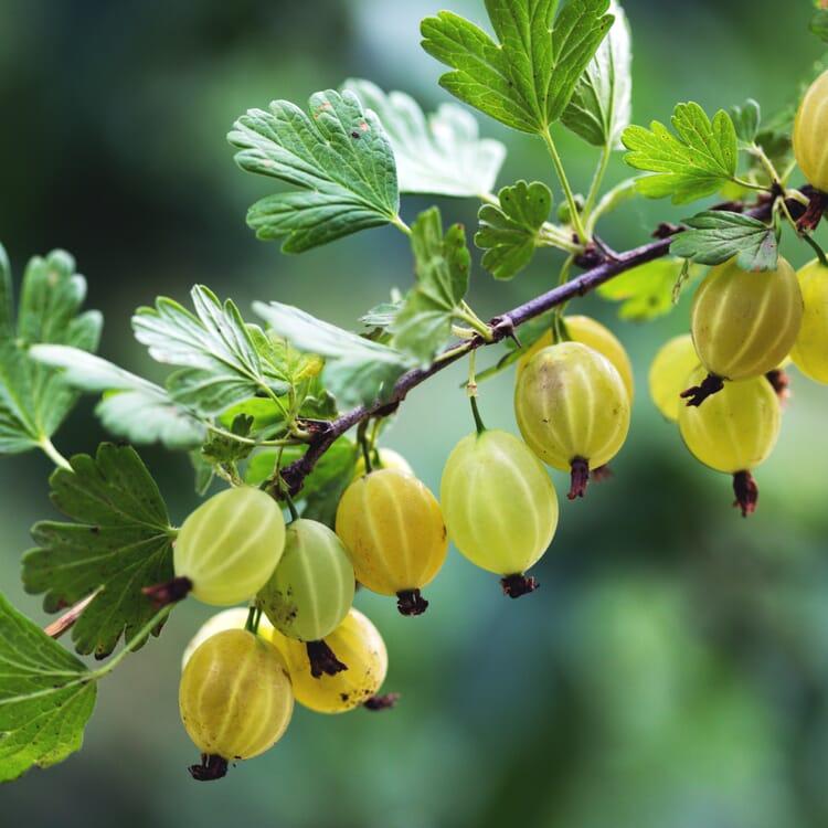 Obstgehölz Stachelbeere 'Früheste Gelbe'