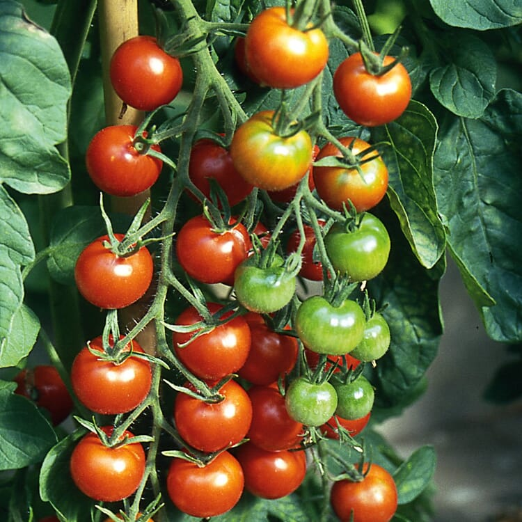 Gemüsesamen 'Tomaten alte Land- und Haussorten'