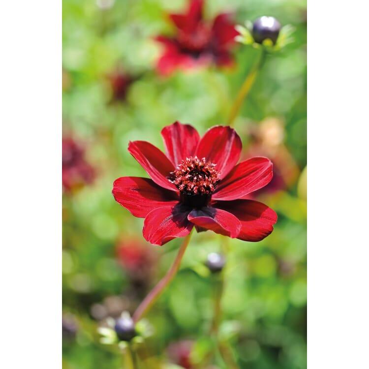 Blumenzwiebeln Schokoladen-Kosmee