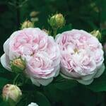 Gallische Rose 'Duchesse de Montebello'