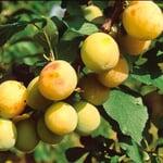 Obstgehölz 'Reneklode aus Oullins'