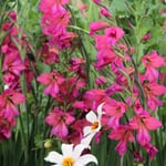 Blumenzwiebeln Byzantinische Wildgladiole