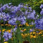 Blaue winterharte Schmucklilie
