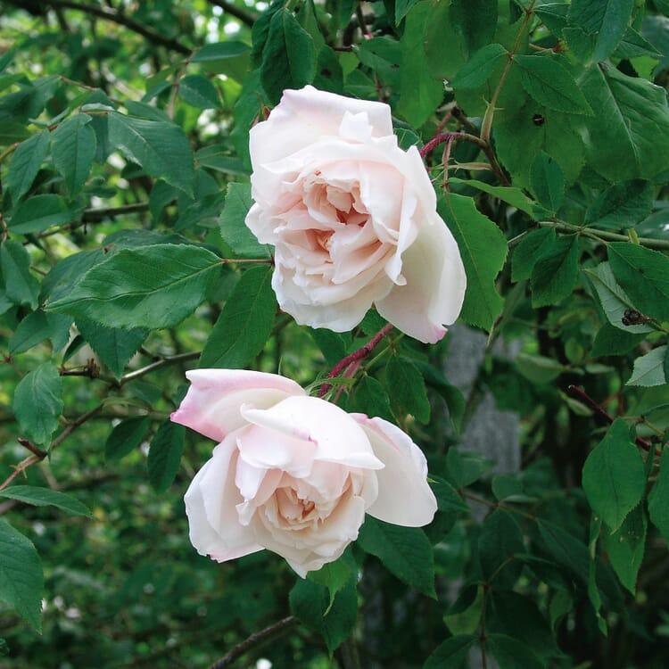 Ramblerrose 'Mme Alfred Carrière'