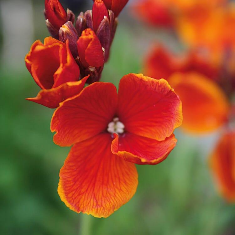 Blumensamen 'Historischer Goldlack'