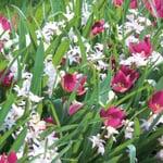 Blumenzwiebelmischung Zwerg-Wildtulpe und Stern-Hyazinthe