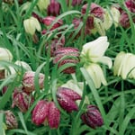 Blumenzwiebeln Schachbrettblume