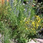 Blumensamenmischung für Bienen und Schmetterlinge im Siedlungsbereich